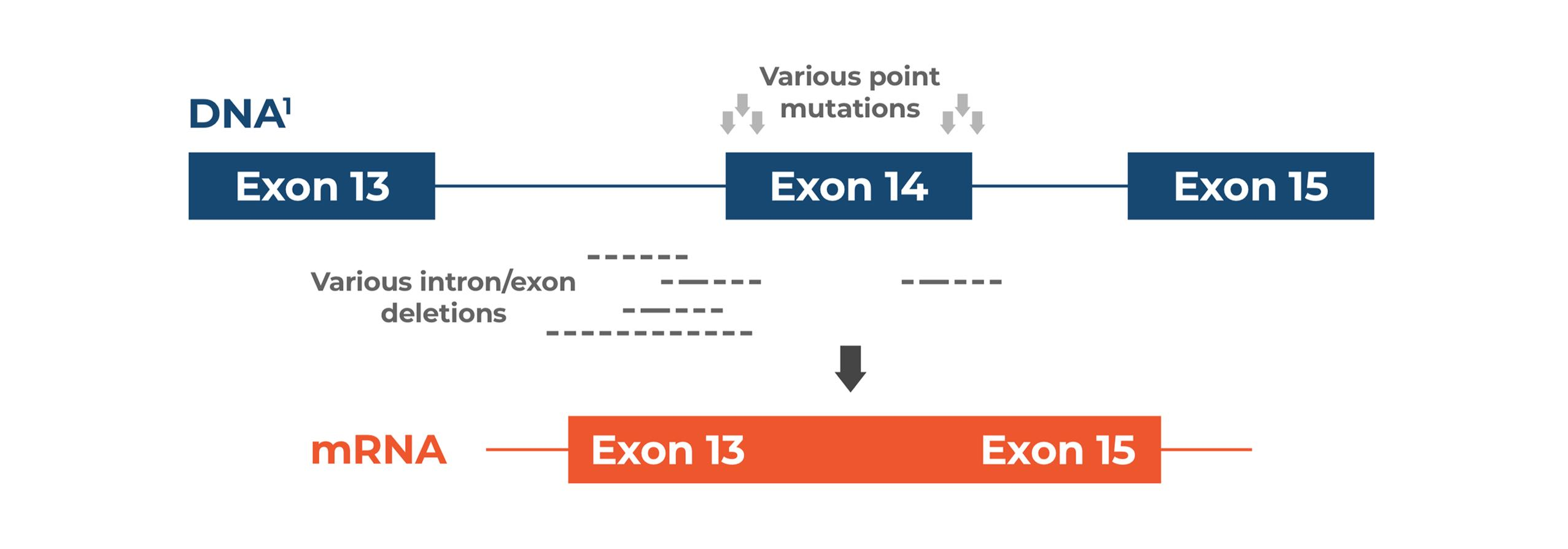 Various point mutations leading to skipping of exon 14 of MET